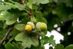 Bolotas maduras no parque de Pishiobury em Hertfordshire foto de stock royalty free