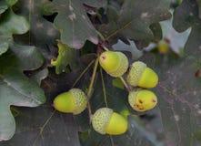 Bolotas verdes nos ramos de um carvalho Foto de Stock Royalty Free