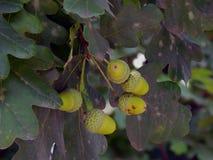 Bolotas verdes nos ramos de um carvalho Imagem de Stock
