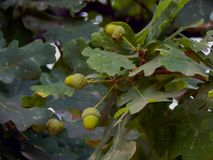 Bolotas verdes nos ramos de um carvalho Foto de Stock