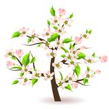 Bolssoming apple tree Stock Images