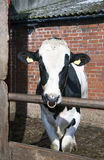 Bolton Bull Стоковые Фото