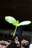 Bolusanthus speciosus seedling Stock Photo