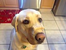 Bom cão com um osso Fotografia de Stock Royalty Free
