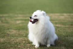 Pomeranian royalty free stock photos