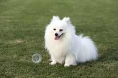 Pomeranian stock images