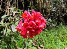 Bomareamultiflora Endemische bloem in Colombia en Ecuador Paramo inheemse flora royalty-vrije stock afbeeldingen