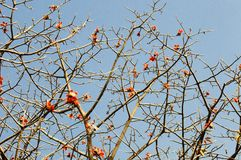 The bomax tree. Beautiful red flowers of the bomax tree royalty free stock image