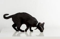 Bombaim preta Cat Standing no fundo branco Vista afastado Foto de Stock