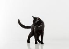 Bombaim preta Cat Standing no fundo branco Vista afastado Fotos de Stock