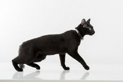 Bombaim preta Cat Standing no fundo branco Vista afastado Fotos de Stock Royalty Free