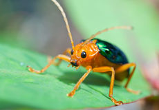 Bombardier Beetle. (brachinus alternans) inject an explosive mixture of hydroquinone, hydrogen peroxide plus several potent catalysts into a reaction chamber in Royalty Free Stock Photography