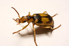 Bombardier beetles on a smooth background. Bombardier beetles on a smooth background Stock Images