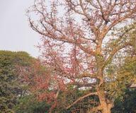Bombax ceiba tree and flowers. In Bagan, Myanmar Stock Photography