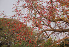 Bombax ceiba tree and flowers in Mandalay, Myanmar Royalty Free Stock Photos