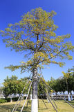 Bombax ceiba tree Stock Photography