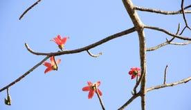 Bombax ceiba tree Royalty Free Stock Photos