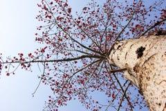 Bombax ceiba tree Royalty Free Stock Photo