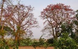 Bombax ceiba trees and flowers. In Mandalay, Myanmar Royalty Free Stock Image