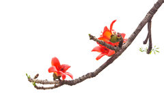Bombax flower Stock Photo
