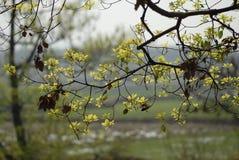Bombax malabaricum. Kapok leaves under the backlight, revealing a verdant. Full of life Royalty Free Stock Photos