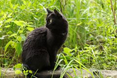Bombay black cat in profile with attentive look sits in green grass outdoor in nature. Spring, summer. Copy space stock image