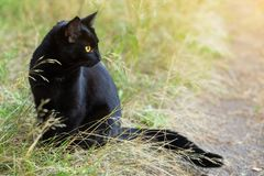 Bombay black cat in profile with yellow eyes in nature. Beautiful bombay black cat in profile with yellow eyes and attentive look in green grass in nature. Ð¡ royalty free stock photography