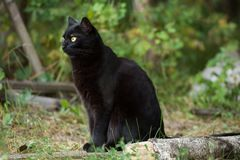 Bombay black cat in profile with yellow eyes sits outdoor in nature. Ð¡at is looking in the left royalty free stock photography