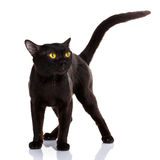 Bombay black cat on a white background. With a climb up the tail royalty free stock images