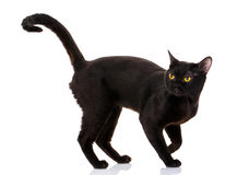 Bombay black cat on a white background. With a climb up the tail Royalty Free Stock Photo