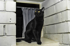 Bombay breed cat. Young black cat on a window, Bombay breed Royalty Free Stock Image