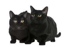 Bombay cat (10 months old) Royalty Free Stock Photo