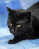 Bombay cat on a blue Stock Images