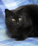 Bombay cat on a blue Royalty Free Stock Images