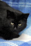 Bombay cat on a blue Stock Photography