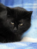 Bombay cat on a blue Royalty Free Stock Photography