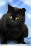 Bombay cat on a blue Royalty Free Stock Photo