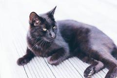 Bombay Cat on Grey Ground Stock Photography