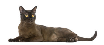 Bombay cat lying and looking away Stock Photos
