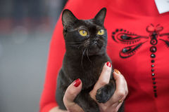 Bombay cat portrait. Pedigree Cat Stock Image