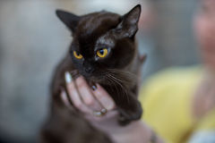 Bombay cat portrait. Pedigree Cat Royalty Free Stock Photography