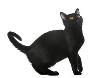 Bombay kitten looking up. Isolated on white Stock Images