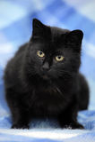 Bombay kot na błękicie Fotografia Stock