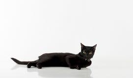 Bombay negra Cat Lying en el fondo blanco Imágenes de archivo libres de regalías