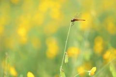 Bombayhanf mit Libelle lizenzfreie stockbilder
