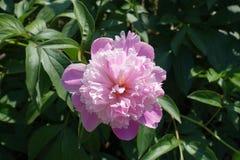 Bombe geblühte rosa Pfingstrose im Frühjahr stockfoto