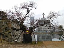 A-Bombed Willow Tree at Hiroshima Castle, Hiroshima, Japan Royalty Free Stock Photo