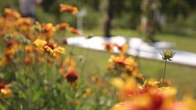 Bombi che volano per fare il giardinaggio fiori arancio che raccolgono nettare Le api impollinano la fioritura di fioritura Macro archivi video