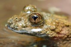 Bombina variegata eye. Rare european frog - extremely close up Stock Photo