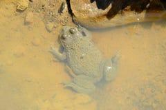Bombina variegata. Yellow-Bellied Toad (Bombina variegata Royalty Free Stock Images
